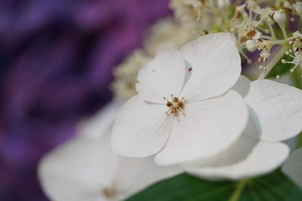 白いガクアジサイ