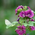 蝶とゼニアオイ