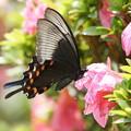 クロアゲハチョウ