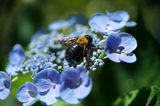 Photos: 紫陽花にクマバチ