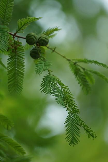 メタセコイアの種