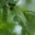 写真: メタセコイアの種