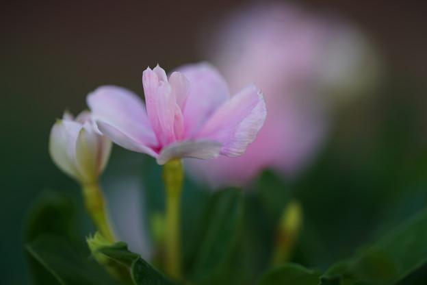 八重咲きビンカ