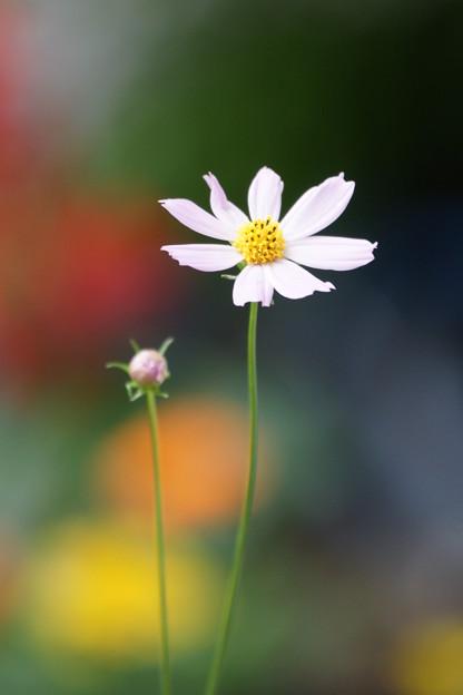 写真: 白い秋桜