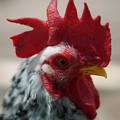 写真: 碁石矮鶏