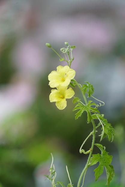 ゴーヤの黄色い花
