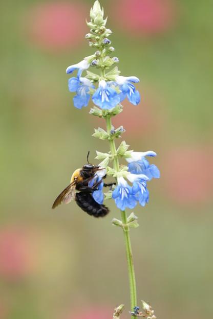 花とクマバチ