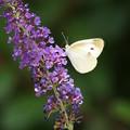 Photos: 花とブッドレア