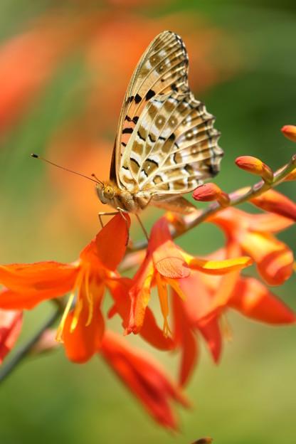 写真: 蝶とヒメオウギスイセン
