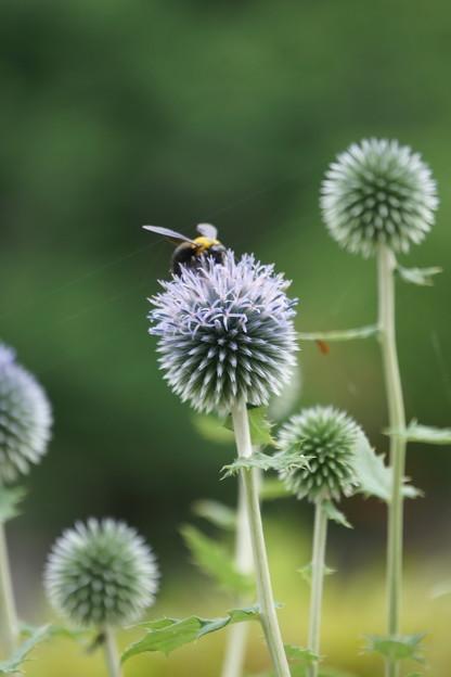 ルリタマアザミにクマバチ