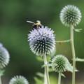写真: ルリタマアザミにクマバチ