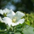 写真: 白い芙蓉