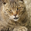 写真: 強面の猫