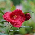写真: 赤い芙蓉