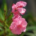 写真: ピンクの夾竹桃