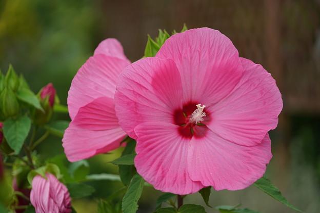 ピンクのタイタンビカス
