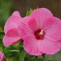 写真: ピンクのタイタンビカス