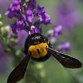 写真: 花とクマバチ