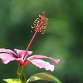 写真: 上向き咲くハイビスカス