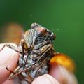 Photos: 捕まえた蝉