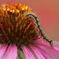 写真: 花と毛虫