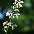 写真: ヤブミョウガの花と種