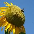 写真: 蜂と向日葵