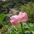 Photos: 蓮の花咲く三渓園