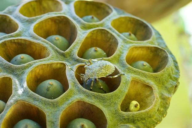 Photos: 蓮と昆虫