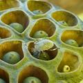 写真: 蓮と昆虫