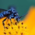 写真: 青い蜂