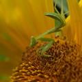 向日葵とカマキリ