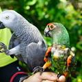 写真: インコとヨウム