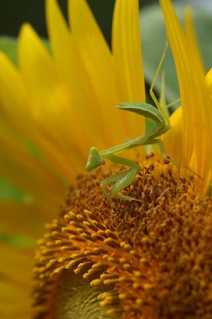 写真: 蟷螂と向日葵