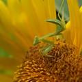 Photos: 蟷螂と向日葵