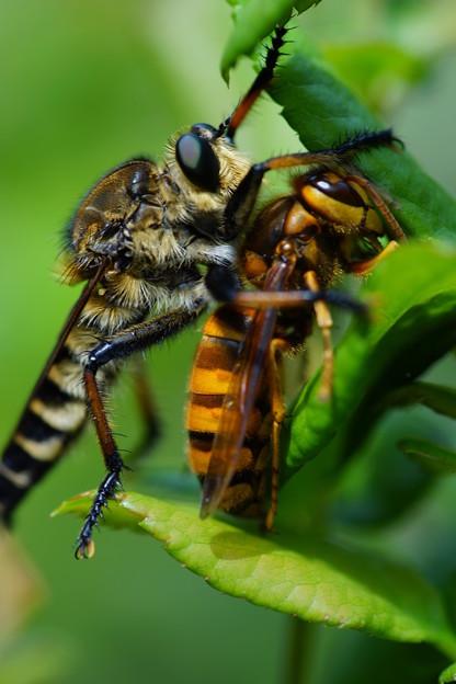蜂を襲うアブ