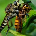 写真: 蜂を襲うアブ