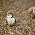 写真: 水浴びる雀