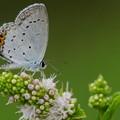 写真: 花とツバメシジミ