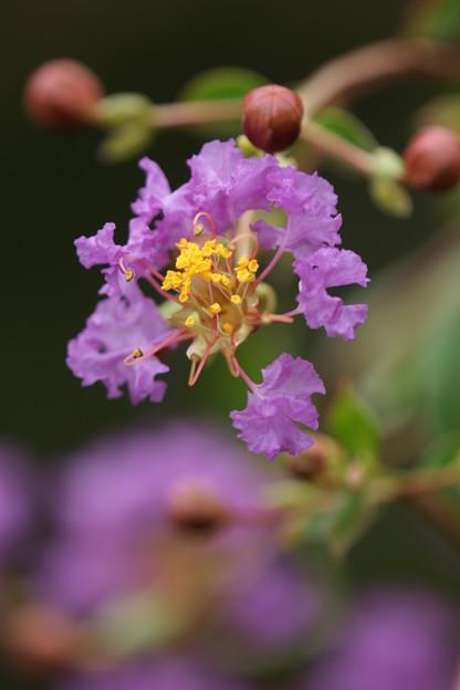 紫の百日紅