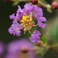 写真: 紫の百日紅