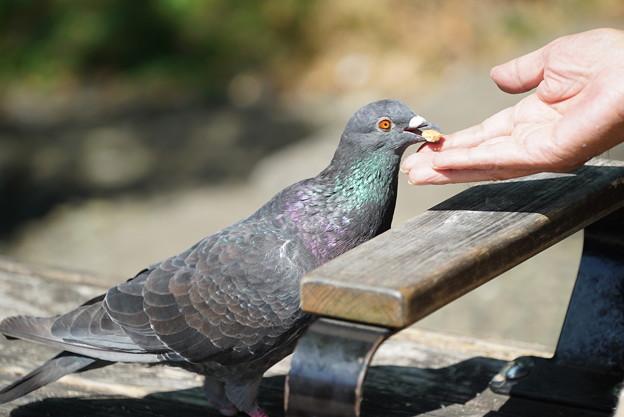 手から餌食べる鳩