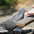 Photos: 手から餌食べる鳩
