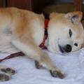 写真: 横たわる犬