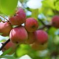 写真: 林檎