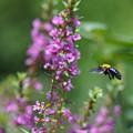 写真: クマバチ
