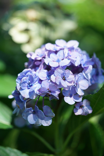 夏に咲く紫陽花