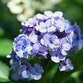 Photos: 夏に咲く紫陽花