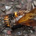 Photos: セミ襲うスズメバチ
