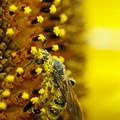 花粉まみれの蜂